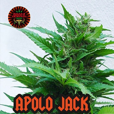 semilla de marihuana - apolo jack