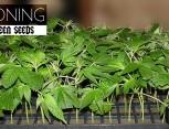 semilla de marihuana - cloning