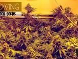 semilla de marihuana - growing