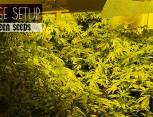 semilla de marihuana - huge setup