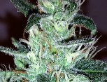 semilla de marihuana - jack widow
