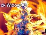 semilla de marihuana - jack widow #2