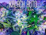 semilla de marihuana - kalach