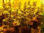 semilla de marihuana - cultivo