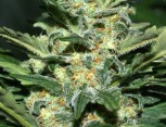 semilla de marihuana - skunky