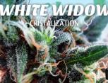 semilla de marihuana - white widow