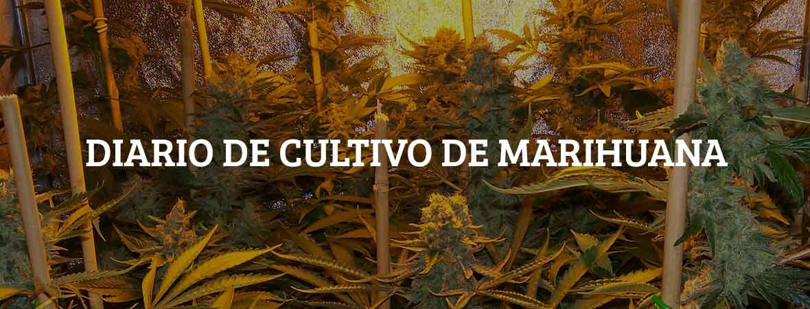Diario de cultivo de marihuana