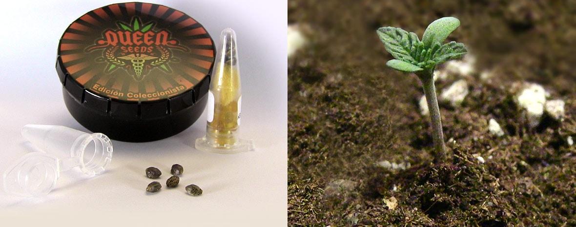 Conseils de germination des graines de cannabis Queen Seeds