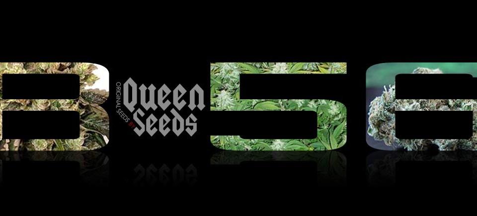 B-56-Semilla marihuana - Queen Seeds